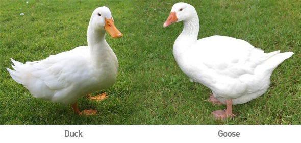 Large Goose and Duck