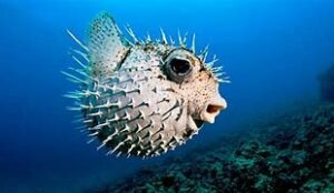 Pufferfish Photo