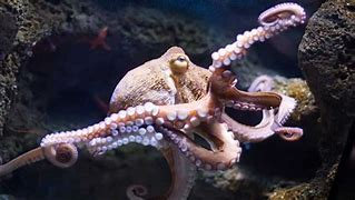 Pink Octopus Photo