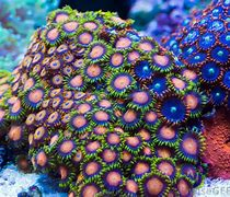 Pink and Blue Coral