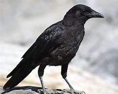 Crow Standing on Rock