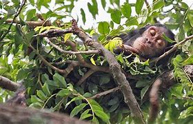 Chimpanzee Nest In Treetop