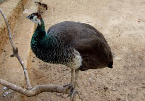 Peahen Stands in Dirt