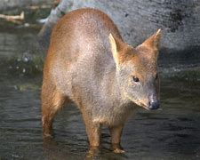 Adult Pudu Stands in Water