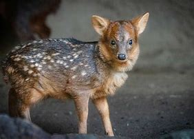 Baby Pudu with Spots
