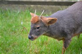 Adult Pudu with Horns