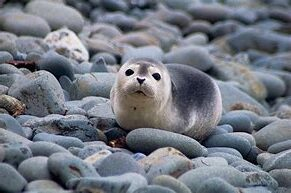 Harbor Seal Pup on Rocky Coast