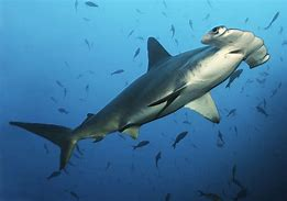 Hammerhead Shark in Water