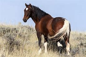 Wild Mustang in Dry Grass