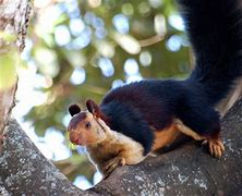 Black Indian Giant Squirrel