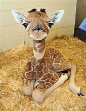 Baby Giraffe on Straw