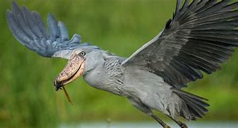 Shoebill Stork in Flight