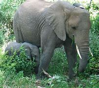 Indian Elephant with Calf
