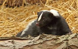 Skunk Relaxes on Log