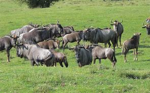 Wildebeest Herd in Grass
