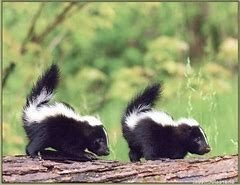 Two Baby Skunks on Log