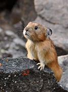 Lemming Looks Over Rock