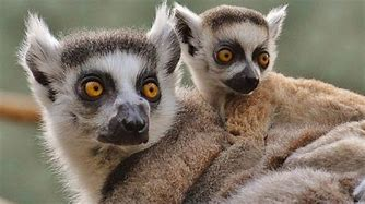 Mother Lemur and Baby