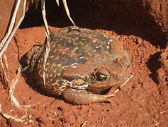 Large Toad on Dirt