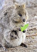 Mother Quokka and Baby