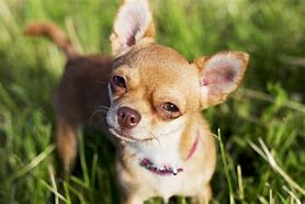 Adult Chihuahua in Grass