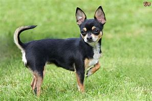 Chihuahua Stands in Grass