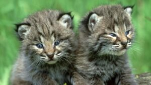Two Baby Bobcats