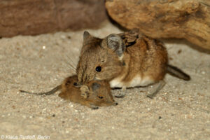 Mother and Baby Elephant Shrew