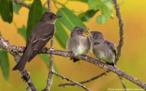 Nightingale with Two Chicks
