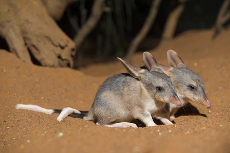 Two Small Bilbies